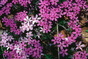 phlox subulata 39 red wings 39 winchester gardens. Black Bedroom Furniture Sets. Home Design Ideas